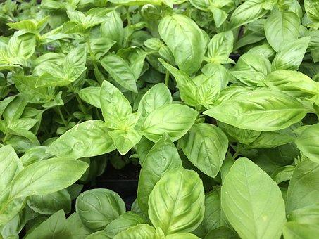 Basil, Green, Healthy, Food, Ingredient, Leaf, Raw