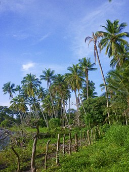 Palms, Nicaragua, Ometepe, Island