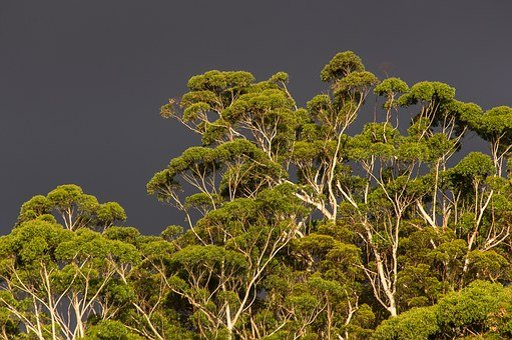 Gum Trees, Eucalypts, Green, Native, Subtropical