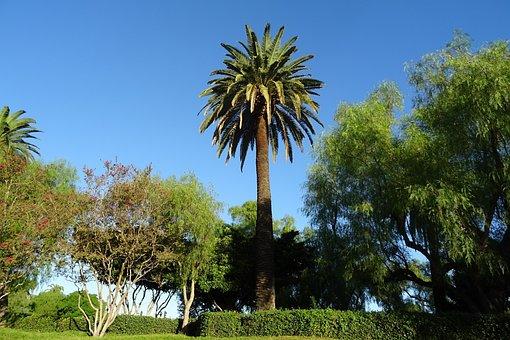 Palm, Tree, Phoenix Canariensis