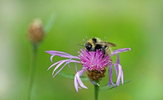 Bee, Insect, Blossom, Bloom, Macro, Purple, Pollen