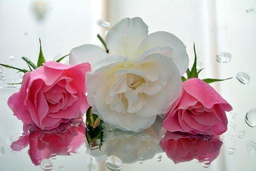 Icebergs, Fragrant, Roses, Pedals