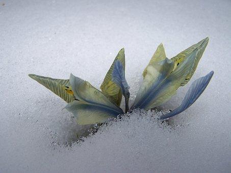 Iris Breeding, Iris, Schwertliliengewaechs, Iridaceae