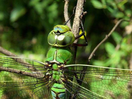 Anax Imperator, Emperor Dragonfly, Blue Emperor