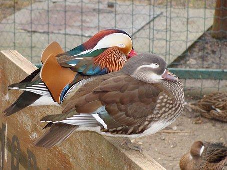 Mandarin Ducks, Ducks, Pair, Water Bird, Animal, Bird