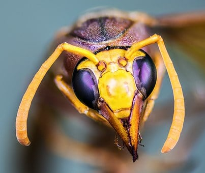 Hornet, Insect, Macro, Compound Eyes, Probe, Antennas