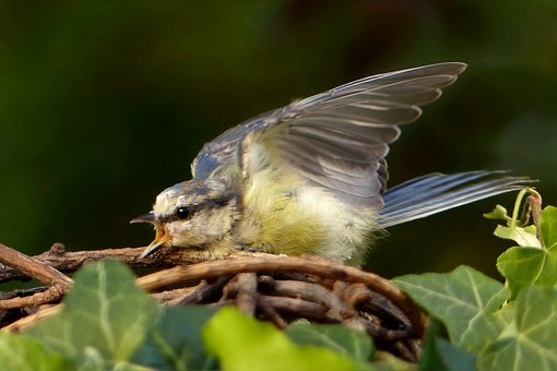 Bird, Blue Tit, Cyanistes Caeruleus, Young
