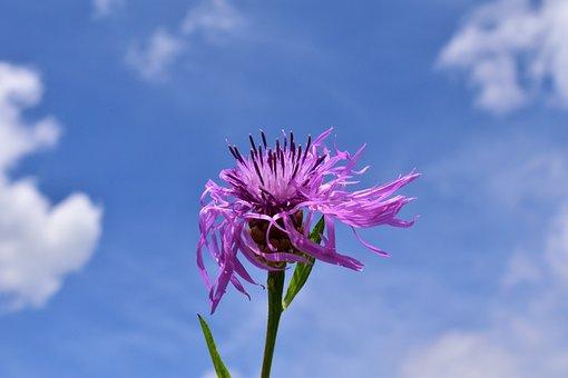 Knapweed, Centaurea Jacea, Had Knapweed, Pointed Flower