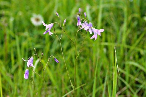 Field, Meadow Flower, Plant, Wildflower, Meadow, Grass