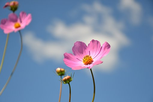 Cosmea, Flower, Plant, Cosmos, Summer, Summer Flowers