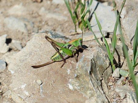Grasshopper, Green, Animal, Insect, Wart Biter
