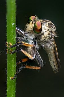 Robber Fly, Macro, Insect, Nature, Fly, Bug