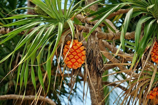Fruit, Pandanus, Tree, Nature, Orange, Pandan Roofing