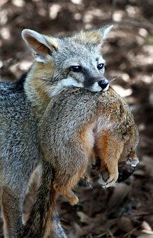 Fox, Squirrel, Hunting, Wild, Animal, Nature, Wildlife
