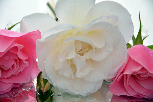 Pedals, Icebergs, Roses, Fragrant