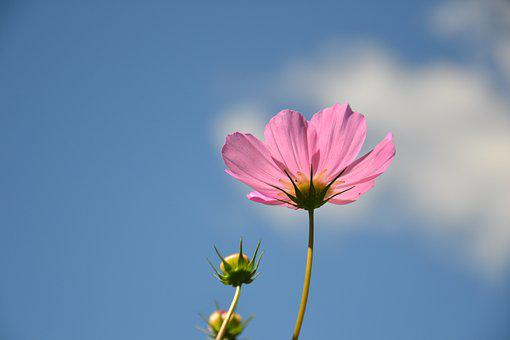 Cosmea, Flower, Plant, Cosmos, Flowers, Summer, Petal