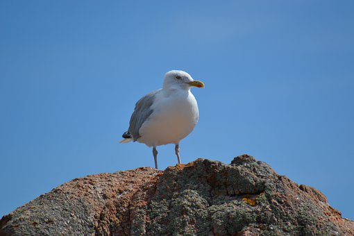 European Herring Gull, Larus Argentatus, Bird, Sea Bird