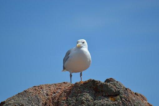 Seagull, European Herring Gull, Larus Argentatus, Bird