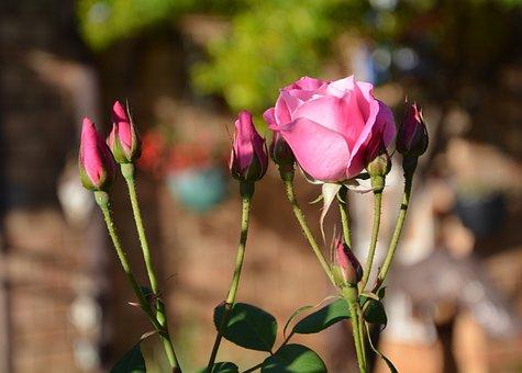Iceberg, Pink Roses, Buds, Spring, Brown Rose