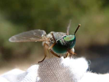 Horsefly, Eyes Compounds, Green Eyes, Insect, Sting