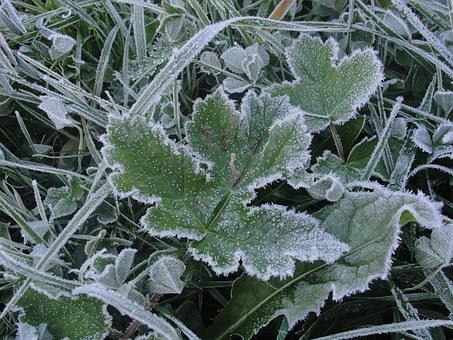 Frost, Leaf, Winter, Cold, Frozen, Frozen Leaf, Frosty