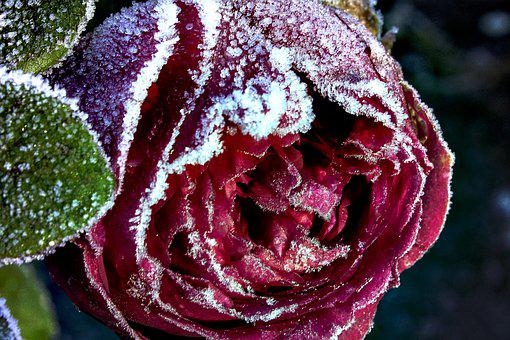 Winter Red Rose, Frosty Flower, Red Rose