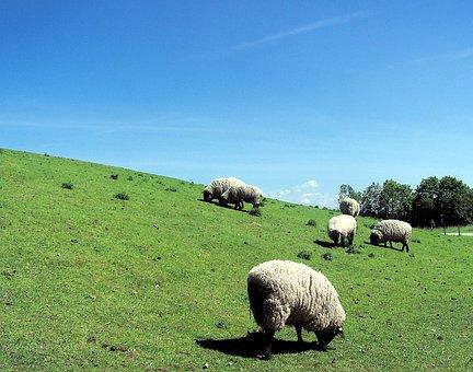 Sheep, Germany, Europe, Dike, Meadow, Grass, Green