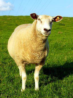 Sheep, Livestock, Animal, White Sheep, Dike, Meadow