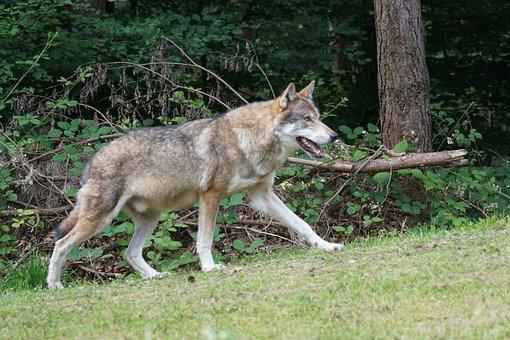 Wolf, Predator, European Wolf, Mammal, Carnivores