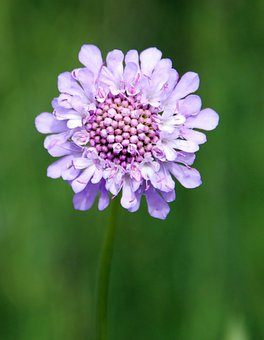 Field Scabious, Purple, Wild Flower