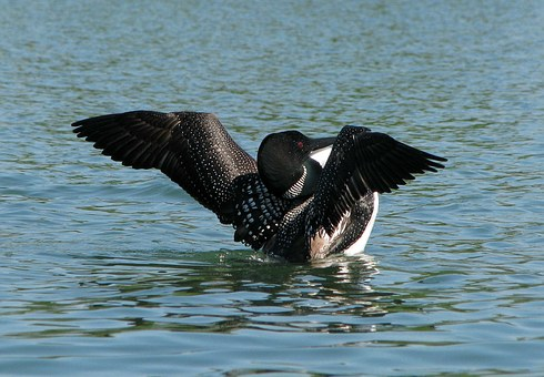 Common Loon, Great Norther Diver, Gavia Immer