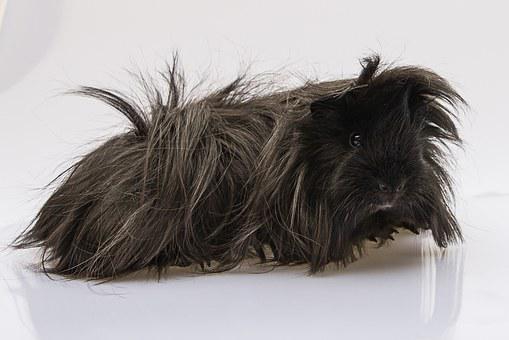 Guinea Pig, Cavy, Black, Longhaired, Peruvian