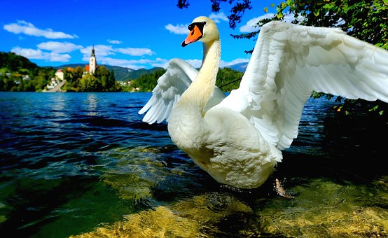 Swan, Swan Lake, Lake Bled, Slovenia, Central Europe