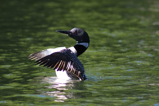 Loon, Canada, Nature, Wildlife, Ontario, Birds, Lake