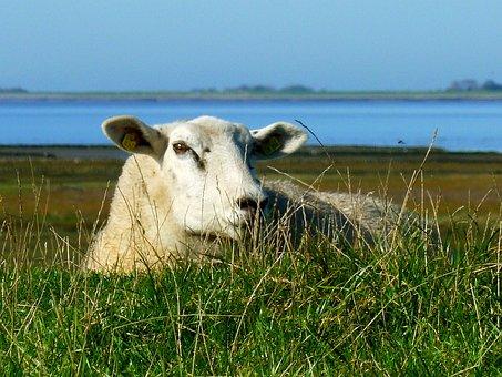 Sheep, Lying Sheep, Exposed Animal, Lying, Nature