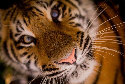 Tiger, Carnivore, Stripes, Cat, Feline, Whiskers