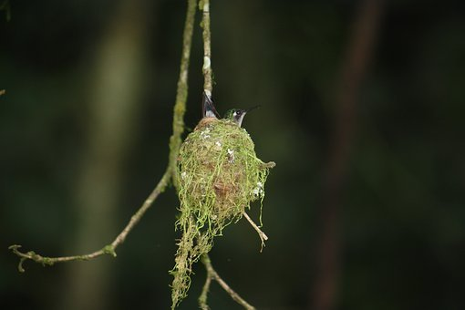 Hummingbird, Nests, Wildlife, Nature, Young, Chicks