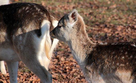 Damtiere, At That Daman Calf, Animals, Young Animal