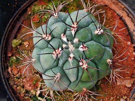 Cactus, Ball, Plant, Green, Nature, Garden, Natural