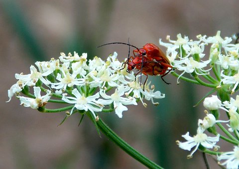 Red Weichkäfer, Soldier Beetle, Beetle, Insect, Nature