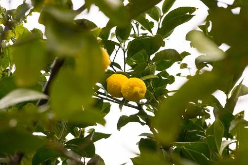 Lemon, Lemon Tree, Fruit, Tree Fruit, Limone, Sour, Bio