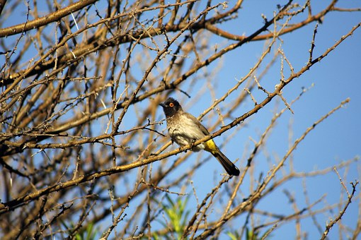 African Fly Catcher, Bird, Red Eye, Feathers, Tree