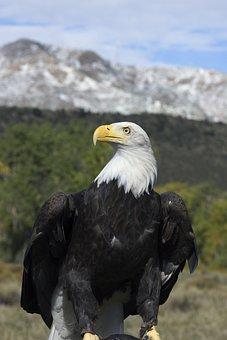 Bald Eagle, Majestic, Bird, Mountain, Sky, Nature