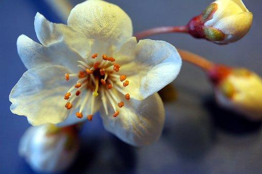 Blossom, Bloom, Spring, Mirabelle, Blood Plum, Plant