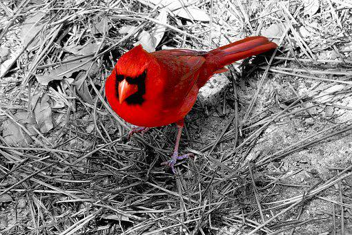 Cardinal, Bird, Red, Ohio, Wildlife, Animal, Nature