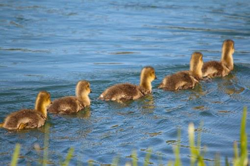 Animals, Waterfowl, Ducks, Young, Floating Line, Follow