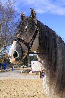 Horse, White, Equine, Animals, Mane, Horseback Riding