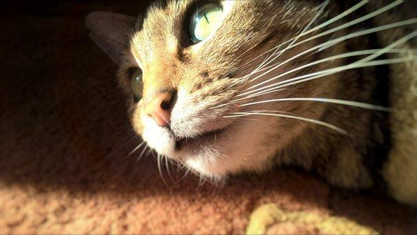 Cat, Cat Face, Animal Portrait, Fur, Eyes, Whiskers