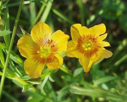 Hudson Flax, Texas Flax, Yellow Flax, Flax, Flowers