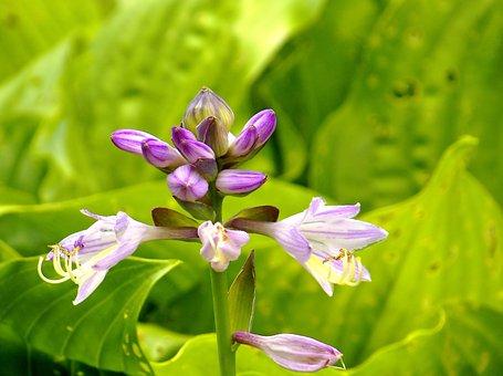 Hosta, Flower, Perennial, Bicolor, Garden, Green